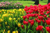 Meadow of red and yellow tulips — Stockfoto