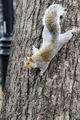 Grey squirrel on a tree trunk — Stock Photo