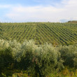 Neat rows of grapes with olive trees — Stock Photo #7901760