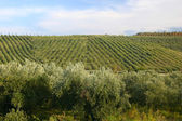 Neat rows of grapes with olive trees — Stock Photo