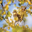 Sparrow Bird (Passer domesticus) In Autumn Trees - Stock Photo