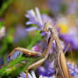 Praying mantis on the flower — Stock Photo