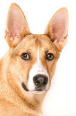 Close-up of mixed-breed dog in front of white background — Stock Photo