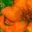Tiger lily flower - Stock Photo