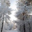 Winter forest, trees covered with rime — Stock Photo