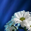 Chrysanthemum on blue — Stock Photo