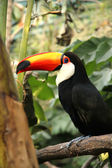 A Tucan — Stock Photo