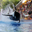 Leaping Killer Whale (Orcinus Orca) — Stock Photo