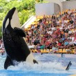Leaping Killer Whale — Stock Photo #7280443