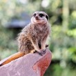 A meercat ( Suricata suricatta) — Stock Photo
