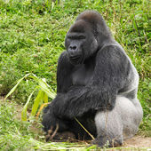 An adult siverback male gorilla — Stock Photo