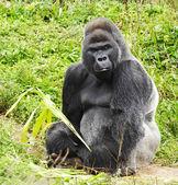 A male silver back gorilla — Stock Photo