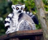 A Ring Tailed Lemur, Lemur Catta — Stock Photo
