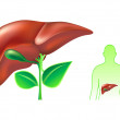 Human liver — Stock Vector #6942667