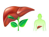 Human liver — Stock Vector