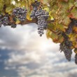 Beautiful Lush Grape Vine and Sky — Stock Photo