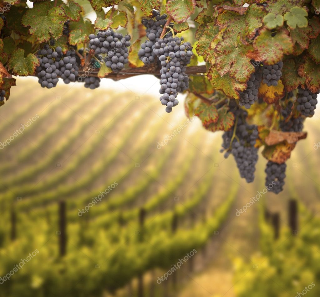 Beautiful Lush Grape Vineyard In The Morning Mist and Sun with Room for Your Own Text. — Stock Photo #6842773