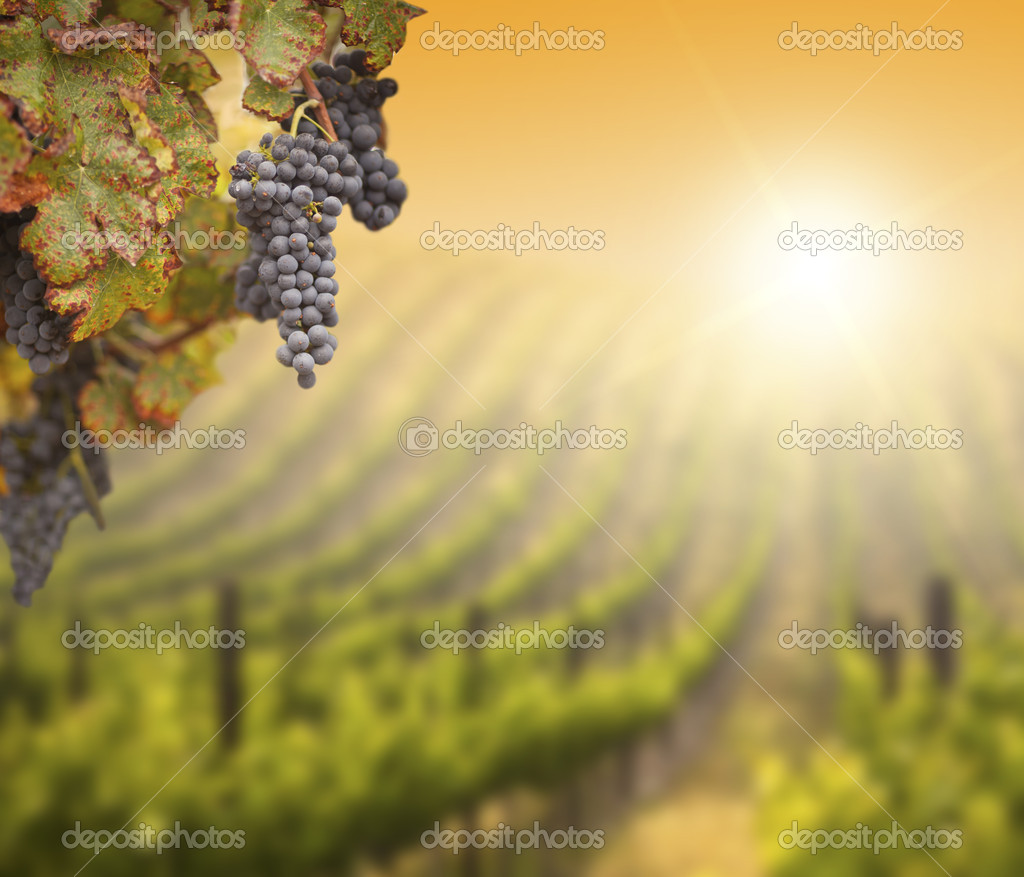 Beautiful Lush Grape Vine In The Morning Mist and Sun with Room for Your Own Text on Blurry Vineyard Background. — Stock Photo #6893614