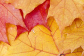 Red maple leaves background — Stockfoto