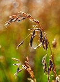 Wild Grass Wheat — Stock Photo