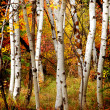 Stock Photo: Fall Birch Trees