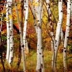 Fall Birch Trees — Stock Photo #7944610