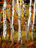 Fall Birch Trees — Stock Photo