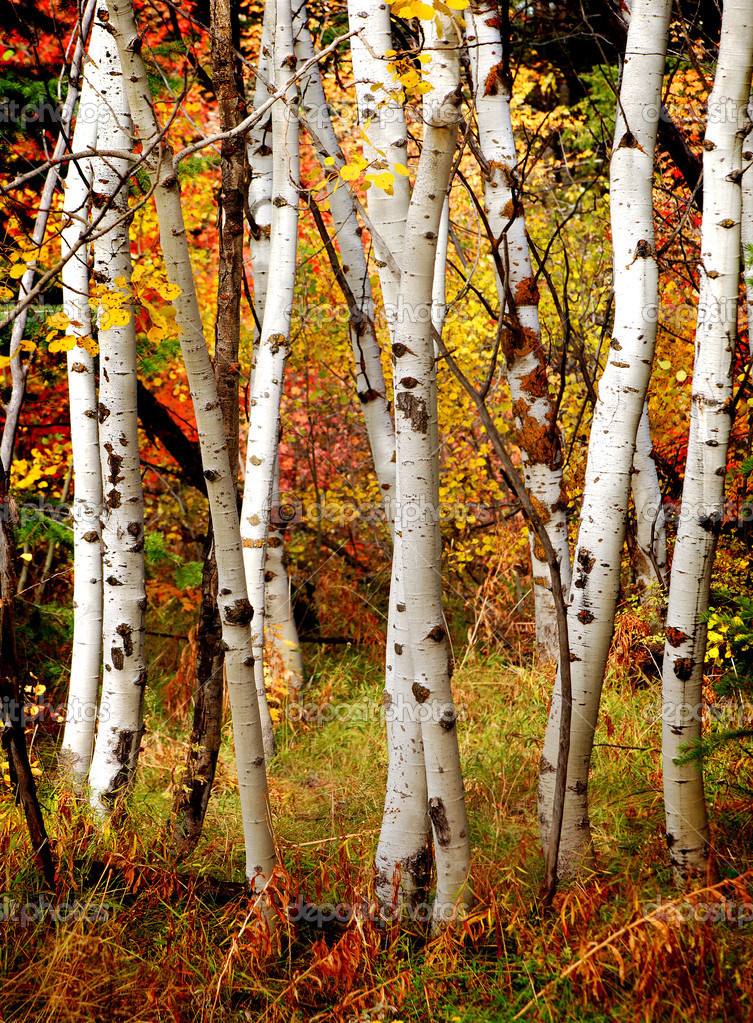 White fall birch trees with autumn leaves in background — Stock Photo #7944610