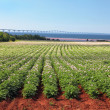 Potato Field & Confederation Bridge — Stock Photo