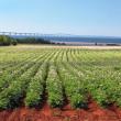 Potato Field & Confederation Bridge — Stock Photo #6891948