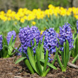Blue Hyacinth — Stock Photo #6903766