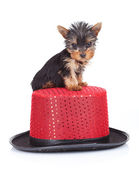 Yorkie toy on a hat — Stock Photo