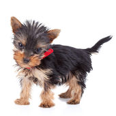 Cute yorkie toy standing — Stockfoto