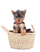 Happy yorkie toy — Stock Photo