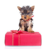 Yorkie toy standing on a gift — Stock Photo