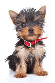 Sitting yorkie toy — Stock Photo
