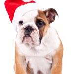 Santa english bulldog puppy sitting — Stock Photo