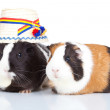 Two guinea pigs with a romanian — Stock Photo