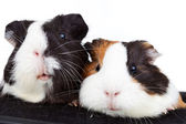 Two cute guinea pigs — Stock Photo