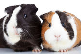 Close up of two guinea pigs — Stock Photo
