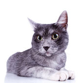 Cute gray cat — Stock Photo