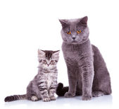 Two very curious british cats — Stock Photo