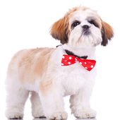 Shih tzu puppy, wearing a red neck bow — Stock Photo