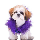 Sweet looking shih tzu puppy — Stock Photo
