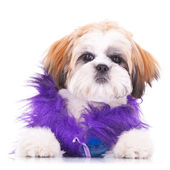 Adorable dressed shih tzu puppy — Stock Photo
