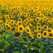 Royalty-Free Stock Photo: Endless sunflower field
