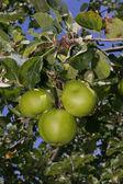 Ripe green apples growing on tree — Stock Photo
