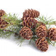 Photo: Branch with pinecones over white background