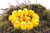 Easter chicks in bird nest over white — Stock Photo