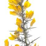 Yellow gorse flowers shrub over white — Stock Photo #7883463